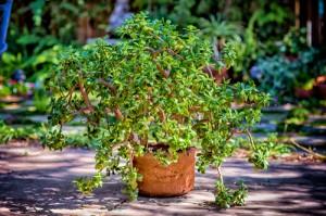 jade-plant-500.jpg